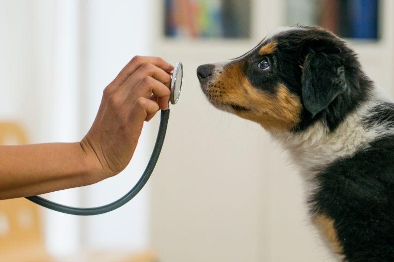 A dog sniffs a stethoscope.